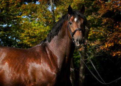 Aliano - Holsteiner Stallion